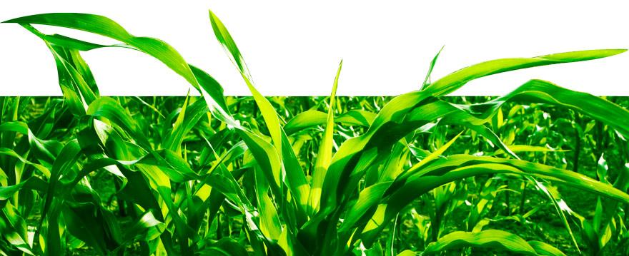 Header_Corn